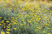 pic of creeping  - Garden of Climbing Wedelia or Creeping Daisy in summer time - JPG
