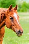 picture of horse head  - Powerful beautiful horse standing in the field and looking straight - JPG