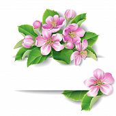 stock photo of apple blossom  - Pink Apple tree blossom with space for text - JPG
