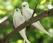 stock photo of tern  - Pair of white terns sitting on a branch. Cousin Island in Seychelles.