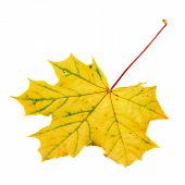 stock photo of canada maple leaf  - Autumn yellow maple - JPG