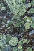 picture of lichenes  - Lichen green tones in stone abstract background