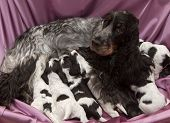 foto of puppies mother dog  - Litter of Seven English Cocker Spaniel Puppies Nursing - JPG