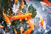 image of koi fish  - Pond with swimming koi fishes in Japanese garden - JPG