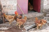 foto of coxcomb  - A rooster and a few hens in a coop - JPG