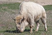 image of charolais  - A white American Bison grazing in a field - JPG