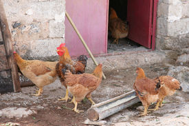 stock photo of coxcomb  - A rooster and a few hens in a coop - JPG