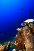 stock photo of damselfish  - Coral Reef with anemonefishes - JPG
