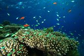 pic of damselfish  - Coral Reef with Damselfishes - JPG