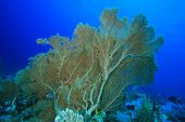 picture of molly  - Gorgonian Fan Corals  - JPG