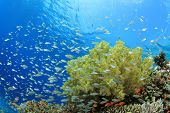 stock photo of damselfish  - Shoal of Damselfish and Soft Corals on a reef in the Red Sea - JPG
