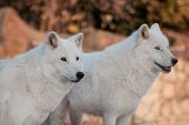Two Wild Alaskan Tundra Wolves.canis Lupus Arctos. Polar Wolf Or White Wolf. poster