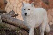 Wild Alaskan Tundra Wolf Is Standing Among The Felled Trees. Canis Lupus Arctos. Polar Wolf Or White poster