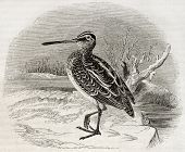 stock photo of snipe  - Old illustration of a snipe  - JPG