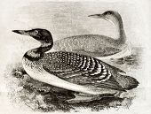 picture of loon  - Old naturalistic illustration of Great Northern Loon  - JPG