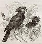 foto of palm cockatoo  - Old illustration of Palm Cockatoo  - JPG