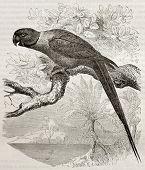 pic of ringneck  - Old illustration of Rose - JPG