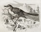 picture of mockingbird  - Northern Mockingbird old illustration  - JPG