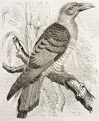 Channel-billed Cuckoo old illustration (Scythrops novaehollandiae). Created by Kretschmer and Illner