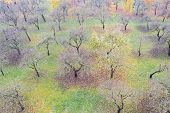 Foggy Morning In Apple Orchard. Leafless Orchard Apple Trees. Drone Photo poster