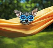 cute chihuahua in a hammock outside in the sun on a hot summer day poster