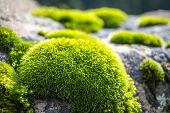 First Rays Of Sun Falling On Patches Of Moss On A Rock. Green Moss Backlit By Sun In The Morning. Cl poster