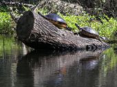 picture of cooter  - turtles sunning on a swampy river in florida - JPG