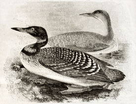 foto of loon  - Old naturalistic illustration of Great Northern Loon  - JPG