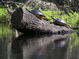 pic of cooter  - turtles sunning on a swampy river in florida - JPG
