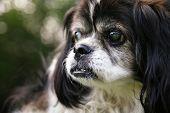 foto of spayed  - an old blind senior dog at a park - JPG