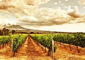 Image of grape valley, harvest season, beautiful sunset over vineyard, plantation of fruits, winery
