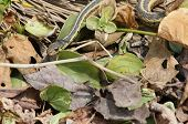 image of harmless snakes  - A garter snake peeking out from leaves - JPG