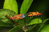 image of coitus  - Close up of shield bugs mating on green leaf - JPG