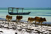 pic of piccolo  - four cow in the beach of zanzibar - JPG