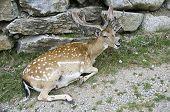 stock photo of cervus elaphus  - Cervus Elaphus is a mediterranean wild mammal - JPG