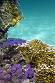 picture of fire coral  - coral reef with hard and fire corals on the bottom of red sea in egypt - JPG