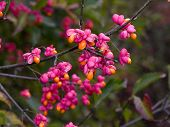 Spindle Tree - Euonymus Europaeus