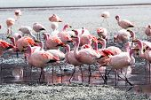 picture of eduardo avaroa  - Flamingos on lake in Andes the southern part of Bolivia - JPG
