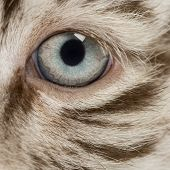 pic of tiger cub  - Macro of a White tiger cub eye  - JPG
