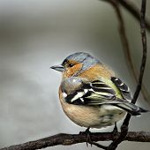 An adult male Chaffinch (Fringilla coelebs).