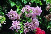pic of angiosperms  - Pink Bougainvillea spectabilis - JPG