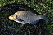 Large Bream.
