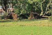 picture of wind blown  - Fallen trees blown over by heavy winds at the park - JPG