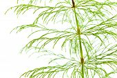 image of horsetail  - horsetail plant thin fronds isolated on white - JPG
