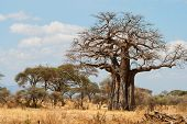 stock photo of grassland  - African Baobab Trees in African grassland - JPG