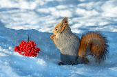 image of mountain-ash  - Squirrel in the wood about a mountain ash cluster - JPG