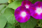 picture of petunia  - Purple petunia in an abstract green background - JPG