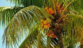 pic of mango  - A mango tree on the island of Man - JPG