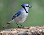 stock photo of blue jay  - A blue jay (Cyanocitta cristata) perching on a branch in Fall. ** Note: Soft Focus at 100%, best at smaller sizes - JPG