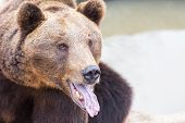 pic of grizzly bear  - Grizzly bear show his tongue portrait - JPG